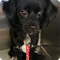 Adopt A Pet :: Marsha - Las Vegas, NV