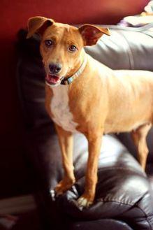 Hound (Unknown Type) Mix Dog for adoption in justin, Texas - Suzie Q