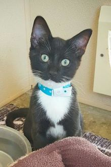 Domestic Shorthair/Domestic Shorthair Mix Cat for adoption in Fredericksburg, Texas - Miles