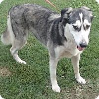 Adopt A Pet :: Cheyenne - Bridgewater, NJ