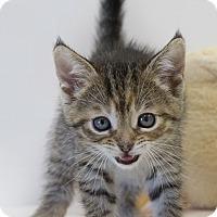 Adopt A Pet :: Samia Cynthia - Washburn, WI