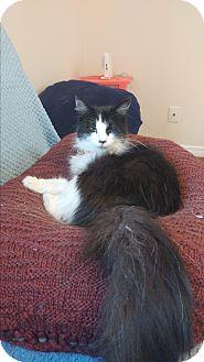 Domestic Mediumhair Cat for adoption in london, Ontario - Arisa