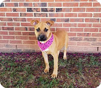 Boxer/Shepherd (Unknown Type) Mix Puppy for adoption in Lexington, North Carolina - Stormy