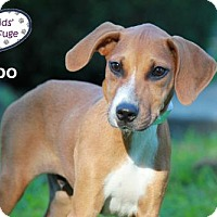 Adopt A Pet :: Cabo - Lee's Summit, MO