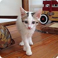 Domestic Shorthair Kitten for adoption in Homewood, Alabama - Eris