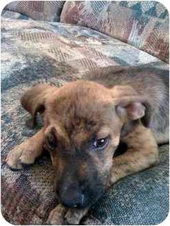 Terrier (Unknown Type, Medium) Mix Puppy for adoption in Wilmington, North Carolina - ROLO