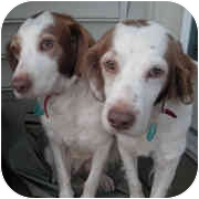 Brittany Dog for adoption in Odenton, Maryland - TOM AND JERRY-Adoption Pending