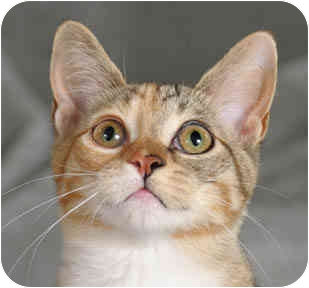 Hemingway/Polydactyl Cat for adoption in Chicago, Illinois - Tiger Lily & Lilac