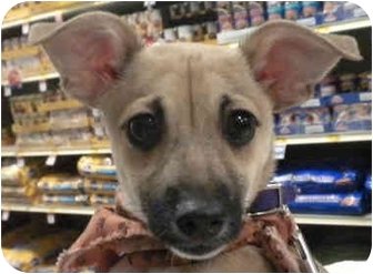 Chihuahua/Dachshund Mix Puppy for adoption in Detroit, Michigan - Itsy-Pending