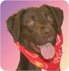 Boykin Spaniel/Chesapeake Bay Retriever Mix Dog for adoption in Cincinnati, Ohio - Spirit