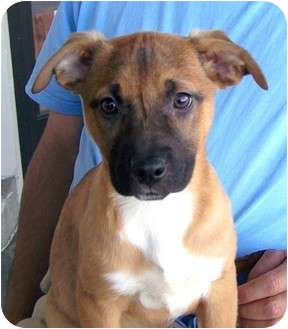 German Shepherd Dog/Labrador Retriever Mix Puppy for adoption in Santa Ana, California - Brie