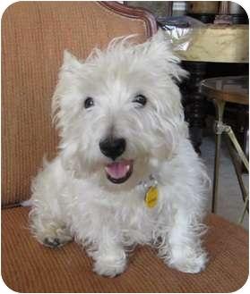 Westie, West Highland White Terrier Dog for adoption in Frisco, Texas - Tavin adoption pending