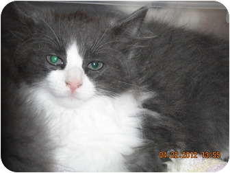 Domestic Longhair Kitten for adoption in Riverside, Rhode Island - Bentley
