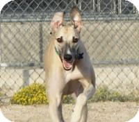 Greyhound Dog for adoption in Tucson, Arizona - Teddy