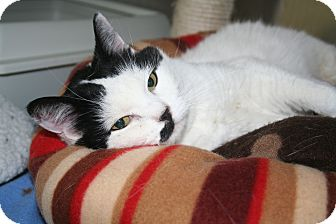 Domestic Shorthair Cat for adoption in Edmonton, Alberta - Layh