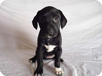 Labrador Retriever Mix Puppy for adoption in Bel Air, Maryland - Marcia