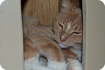 Domestic Shorthair Cat for adoption in Elyria, Ohio - Tidbit