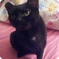 Adopt A Pet :: Miss Midnight - Columbus, OH