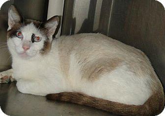 Siamese Cat for adoption in Brooksville, Florida - Sammy