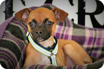 Chihuahua Mix Puppy for adoption in Wichita Falls, Texas - Clark