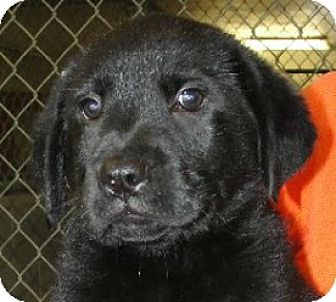 Labrador Retriever Mix Puppy for adoption in Sunnyvale, California - Harvey