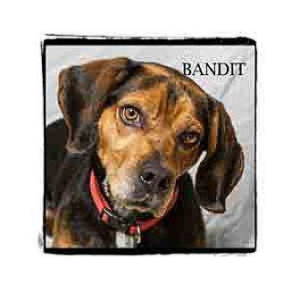 Beagle Mix Dog for adoption in Warren, Pennsylvania - Bandit