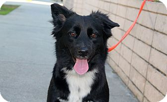 Border Collie Mix Dog for adoption in Los Angeles, California - Gracie - 36lbs