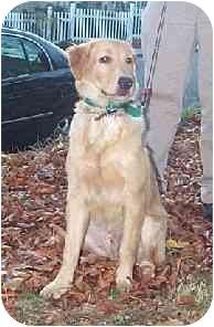Golden Retriever Puppy for adoption in Naugatuck, Connecticut - Barney