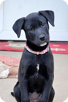 Australian Cattle Dog/Labrador Retriever Mix Dog for adoption in St. Louis, Missouri - Stephanie