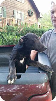 Labrador Retriever Puppy for adoption in Patterson, New York - Hershey