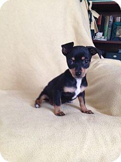 Chihuahua/Papillon Mix Puppy for adoption in Shannon, Georgia - Jasper
