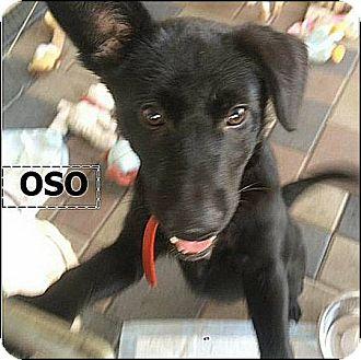 Labrador Retriever/German Shepherd Dog Mix Puppy for adoption in El Cajon, California - Oso (in adoption process)