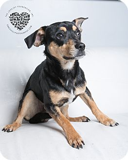 Beagle Mix Dog for adoption in Inglewood, California - Vlad