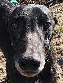 Greyhound Dog for adoption in Longwood, Florida - Nitro Barry