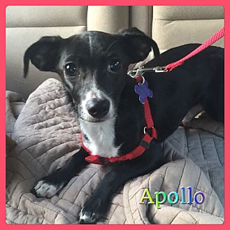 Terrier (Unknown Type, Small) Mix Puppy for adoption in Hollywood, Florida - Apollo