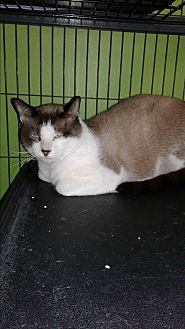 Siamese Cat for adoption in Barnwell, South Carolina - Howard