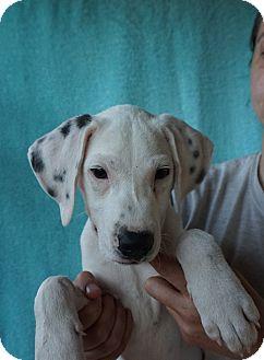 Dalmatian/Labrador Retriever Mix Puppy for adoption in Oviedo, Florida - Spot