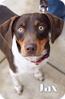 Pointer/Beagle Mix Dog for adoption in DFW, Texas - Jax