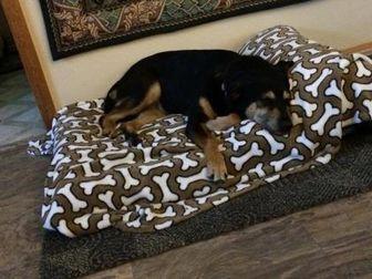 German Shepherd Dog/Labrador Retriever Mix Dog for adoption in Von Ormy, Texas - Babie