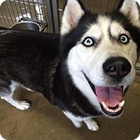 Adopt A Pet :: Skylar - Jackson, MI