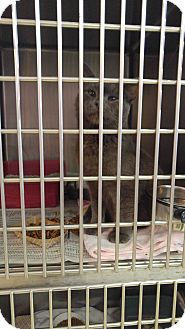 Domestic Shorthair Cat for adoption in Colonial Heights, Virginia - Jagger