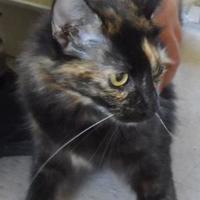 Adopt A Pet :: 653267 - Bakersfield, CA