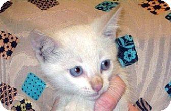 Domestic Shorthair Kitten for adoption in Wildomar, California - 359035
