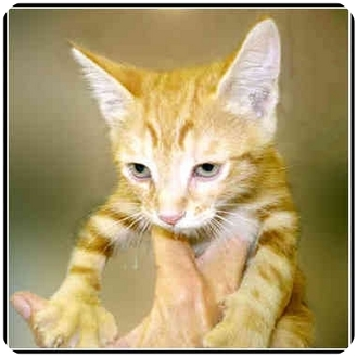 Domestic Shorthair Kitten for adoption in San Clemente, California - TEDDY