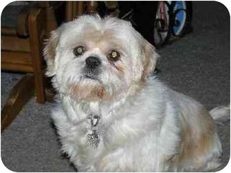 Shih Tzu Mix Dog for adoption in North Kansas City, Missouri - Sugar Britches (Shih Tzu)