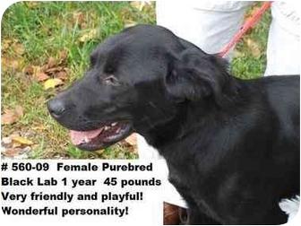 Labrador Retriever Dog for adoption in Zanesville, Ohio - # 560-09 - RESCUED!