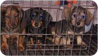 Dachshund Mix Puppy for adoption in North Benton, Ohio - Doxie Puppys