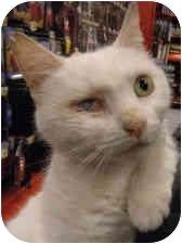 Siamese Cat for adoption in Staten Island, New York - Hope