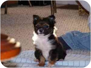 Chihuahua Mix Puppy for adoption in North Benton, Ohio - Chelsea