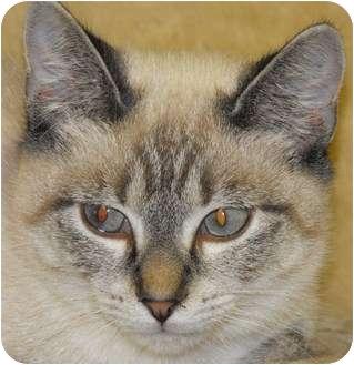 Siamese Kitten for adoption in Byron Center, Michigan - Isolde